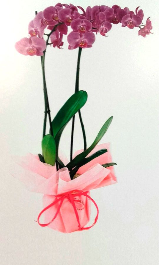 orquidea-phanelopsis